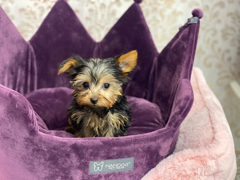 Yorkshire Terrier-DOG-Male-Black and Gold-3056867-Furrylicious