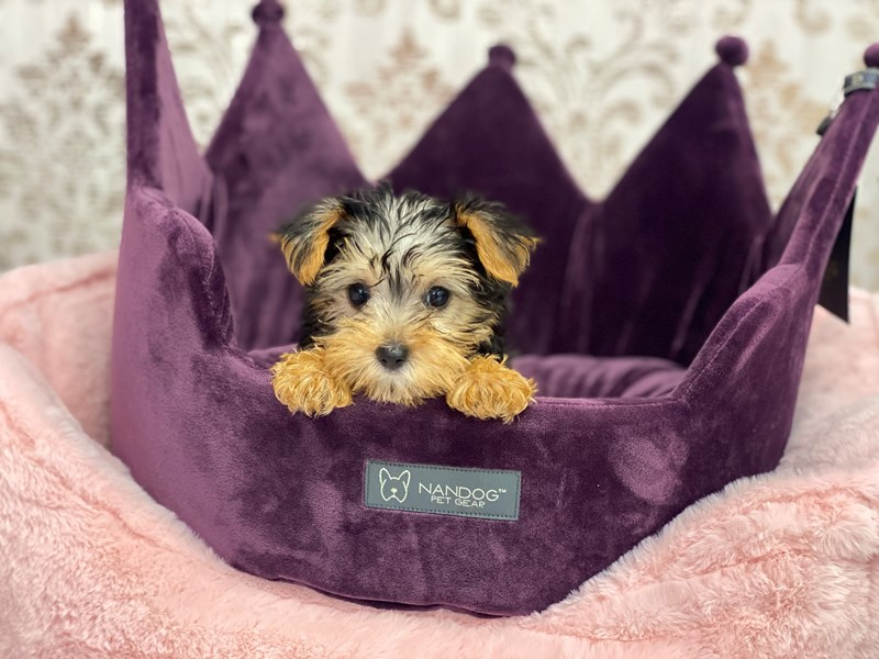 Yorkshire Terrier-Female-Black and Tan-3067745-Furrylicious