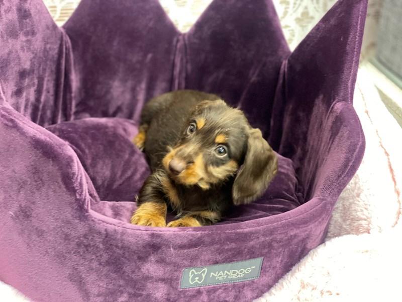 Dachshund-DOG-Female-Chocolate / Tan-3067548-Furrylicious