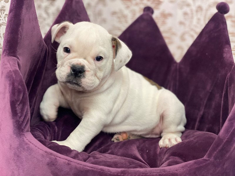 English Bulldog-Female-White and Red Brindle-3067536-Furrylicious