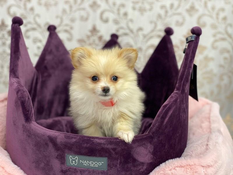 Pomeranian-Female-Cream-3067569-Furrylicious