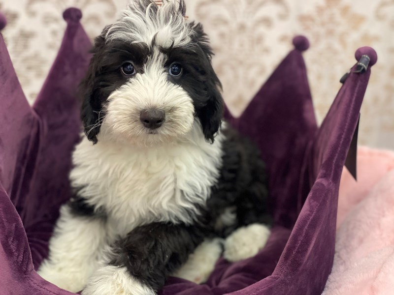 Mini Sheepadoodle-Female-Black / White-3067372-Furrylicious