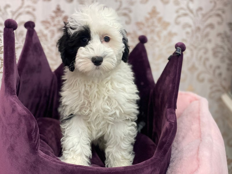 Mini Sheepadoodle-Female-Black / White-3067374-Furrylicious