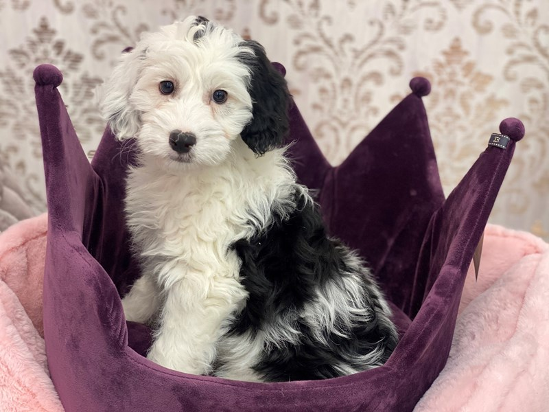 Mini Sheepadoodle-DOG-Female-Black / White-3067376-Furrylicious