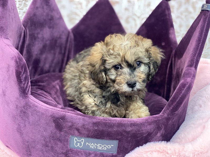 Lhasapoo-Female-Fawn Merle-3067544-Furrylicious