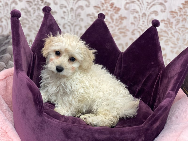 Bichon Poo-DOG-Male-Cream and White-3067724-Furrylicious