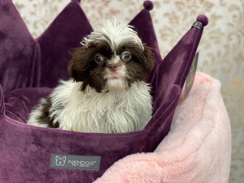 Shih Tzu-Female-White / Chocolate-3027826-Furrylicious