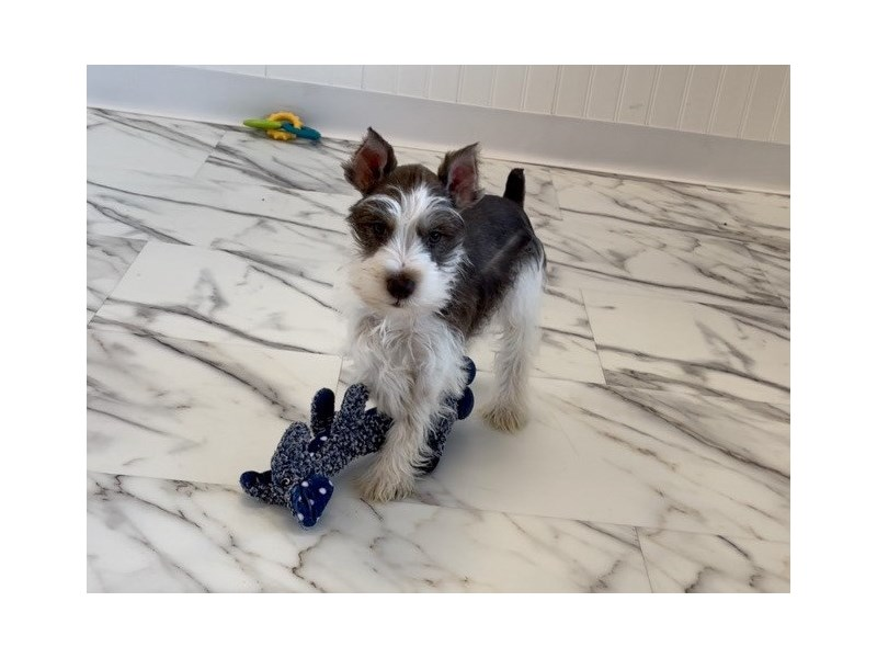 Miniature Schnauzer-DOG-Male-Liver Pepper-3047611-Furrylicious