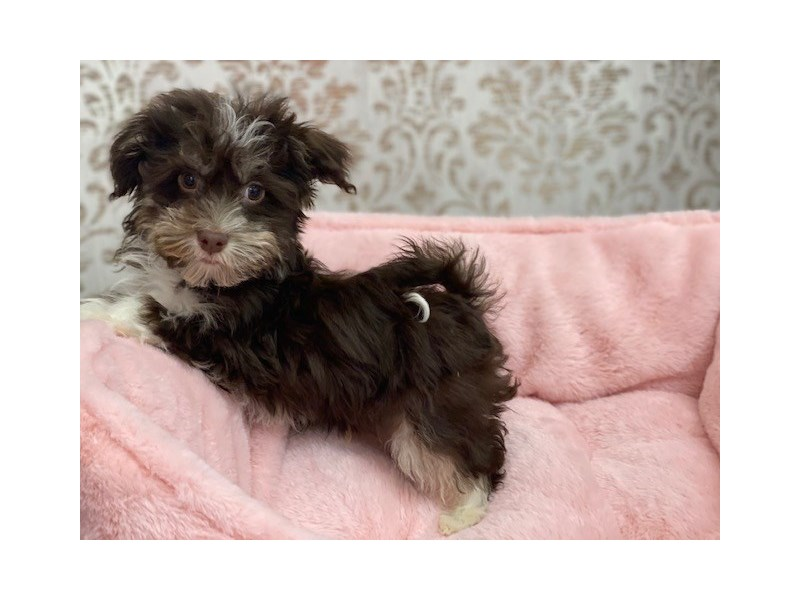 Havanese-Male-Chocolate w/wht markings-3062283-Furrylicious