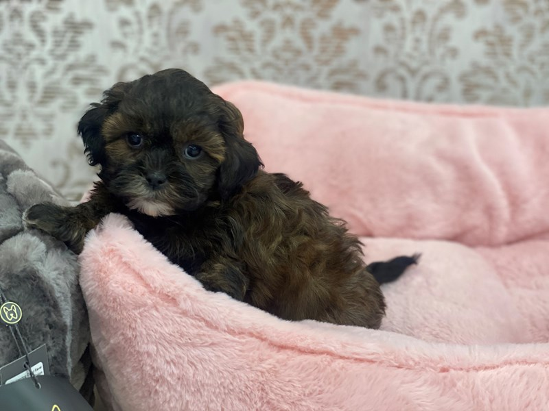 Shipoo-Female-Red Sable-3077834-Furrylicious