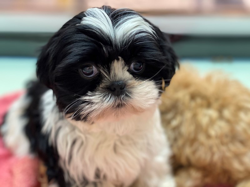 Shih Tzu-Female-Black / White-3077838-Furrylicious