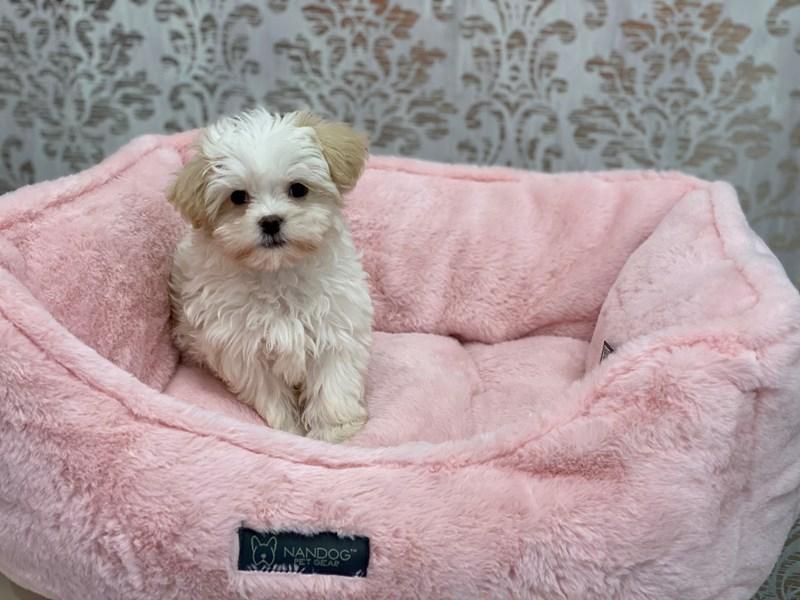Malshi-DOG-Female-White-3075909-Furrylicious