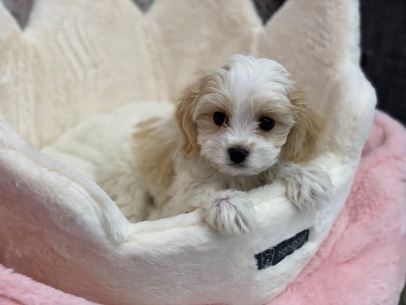 Cavachon-DOG-Male-Red / White-3077682-Furrylicious