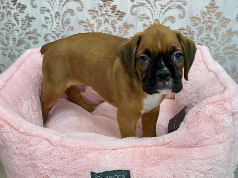 Boxer-DOG-Male-Fawn-3077677-Furrylicious