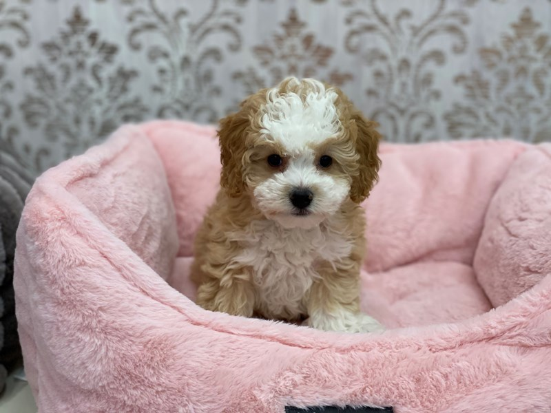 Mini Bernedoodle-Female-Red / White-3077713-Furrylicious