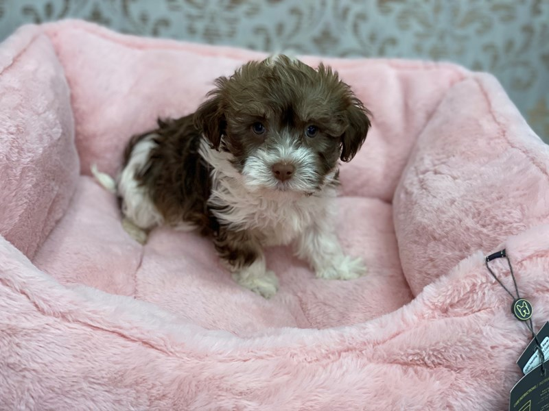 Havanese-Male-Chocolate Sable-3078257-Furrylicious
