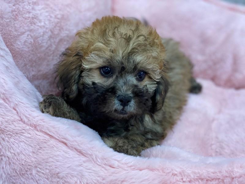Lhasapoo-DOG-Male-Fawn Sable-3077842-Furrylicious