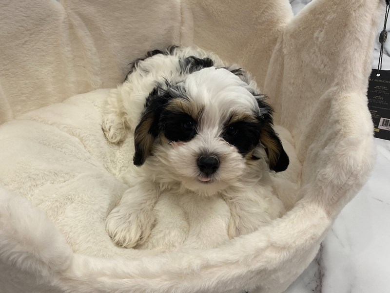 Mini Bernedoodle-DOG-Male-Black White / Tan-3077706-Furrylicious