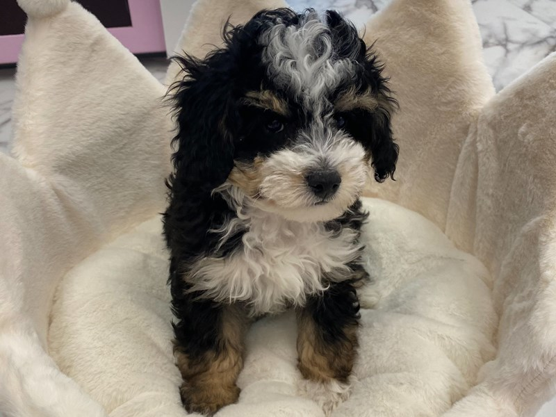 Mini Bernedoodle-Male-Black White / Tan-3077709-Furrylicious