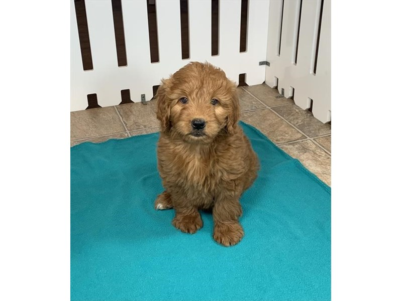 Goldendoodle 2nd Gen-Female-Red-3090315-Furrylicious