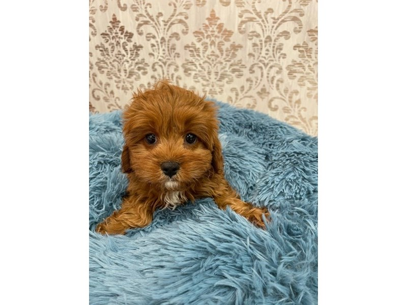 Cavapoo-Male-Red-3087405-Furrylicious