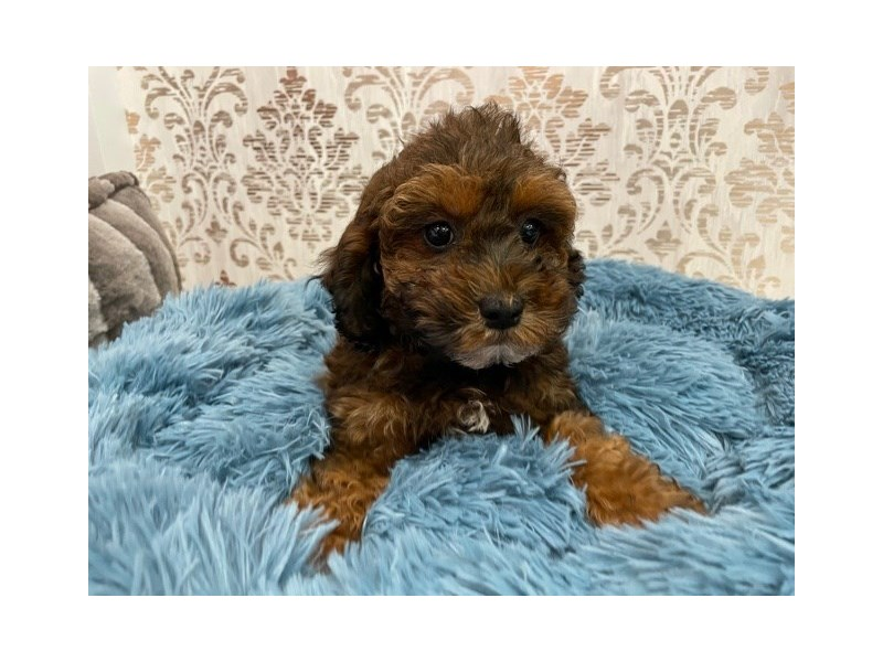 Poodle-Female-Red Sable-3087408-Furrylicious