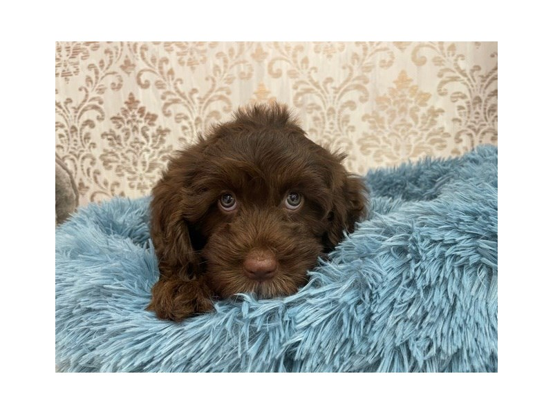 Newfoundland/Poodle-DOG-Male-Chocolate-3087936-Furrylicious
