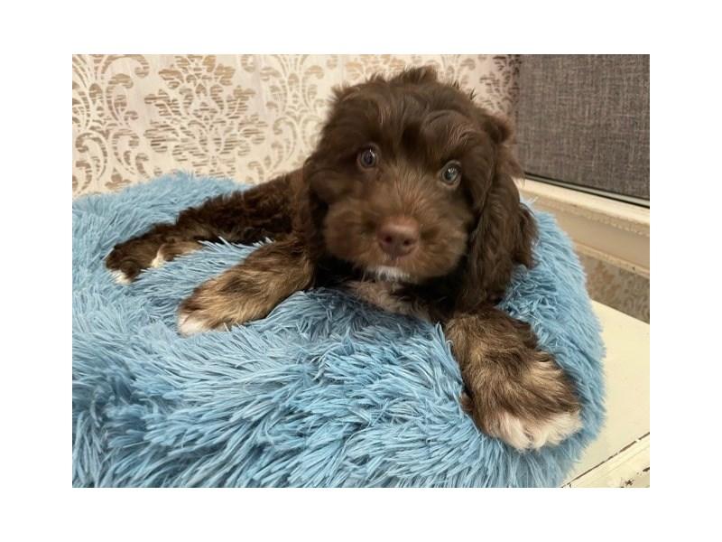 Newfoundland/Poodle-Female-Chocolate / Tan-3087939-Furrylicious