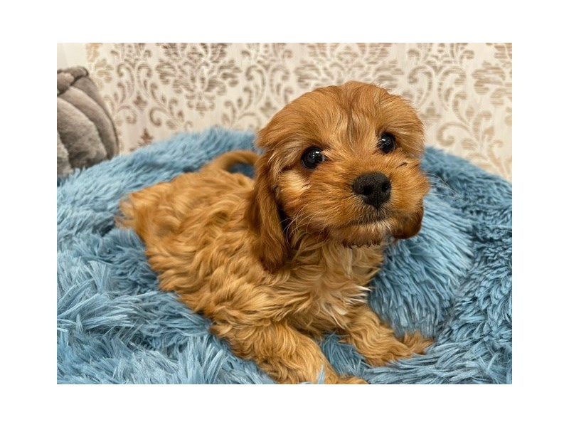 Cavapoo-Female-Red-3087403-Furrylicious