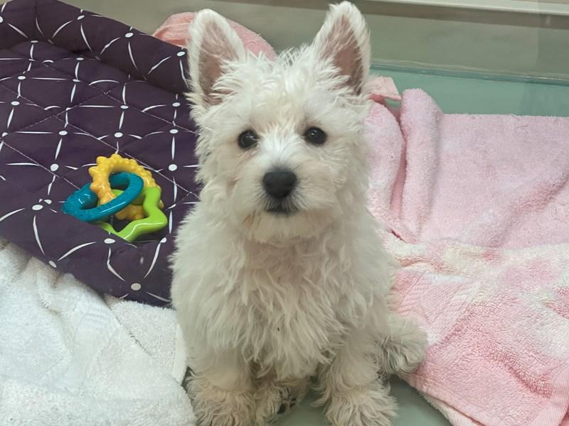 West Highland White Terrier-Female-White-3089249-Furrylicious