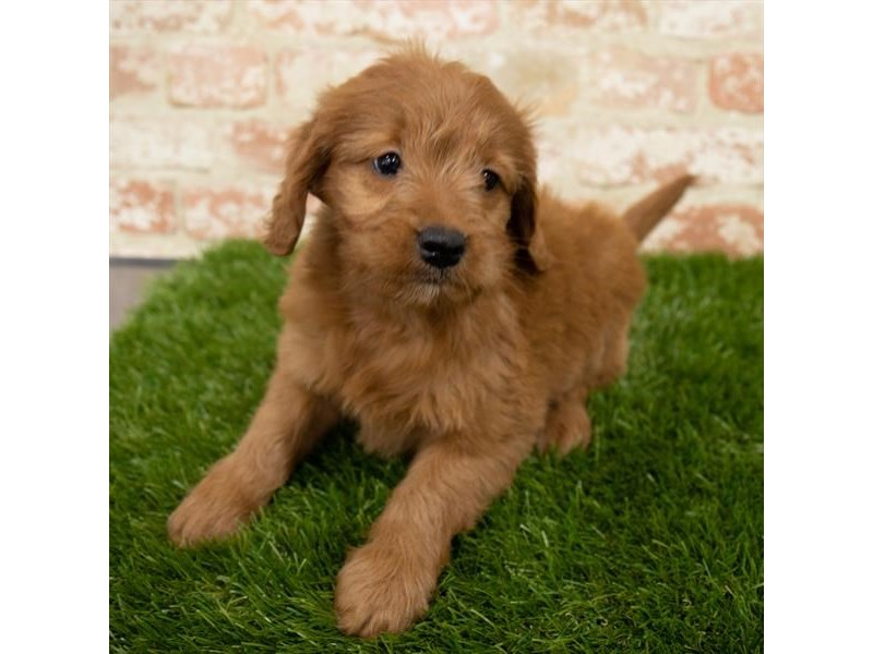 Goldendoodle Mini-DOG-Female-Red-3097973-Furrylicious