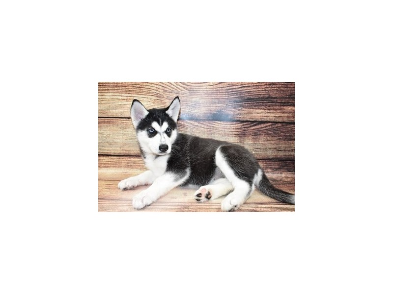 Siberian Husky-DOG-Female-Black and White-3100419-Furrylicious
