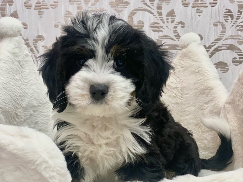Mini Bernedoodle-Female-Black White / Tan-3098000-Furrylicious