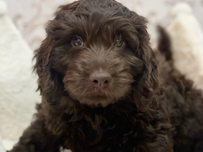 Mini Labradoodle-DOG-Male-Chocolate-3098001-Furrylicious