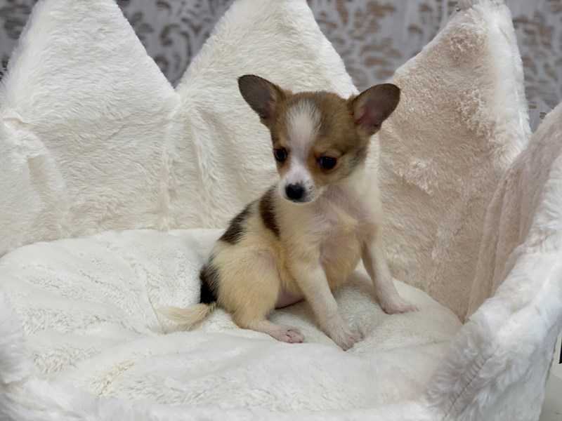 Chihuahua-DOG-Female-Fawn-3097979-Furrylicious