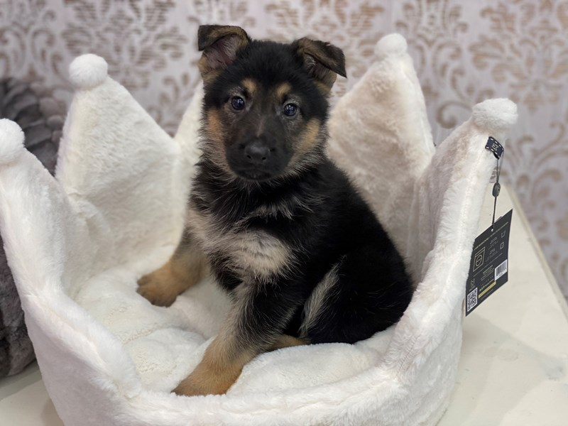 German Shepherd-Male-Black / Tan-3097984-Furrylicious