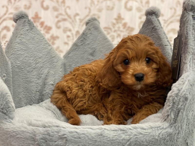 Cavapoo-DOG-Female-Red-3109367-Furrylicious