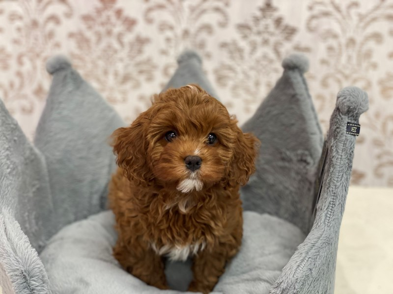 Cavapoo-DOG-Female-Red-3109369-Furrylicious