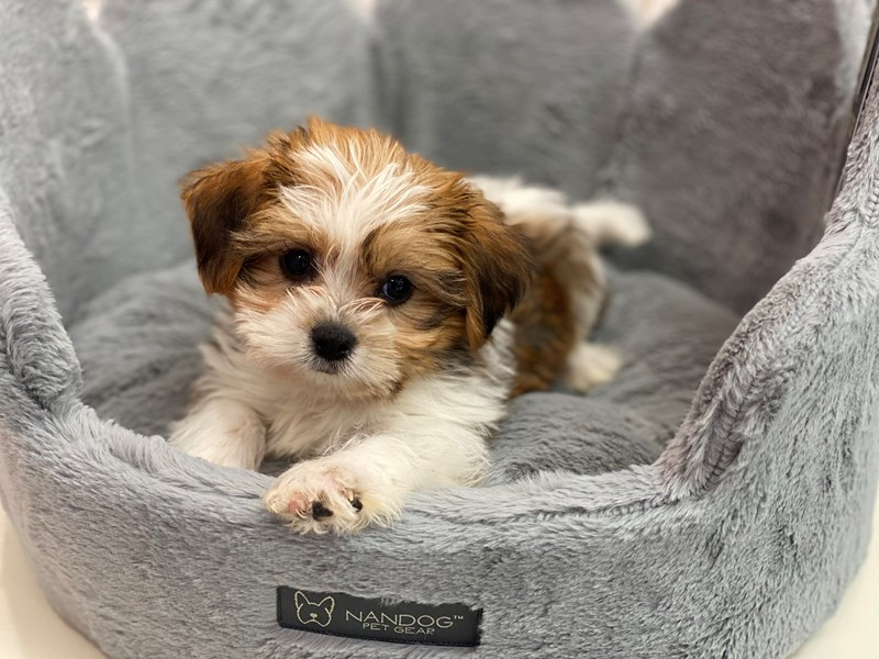 Shorkie-Male-Gold / White-3109375-Furrylicious