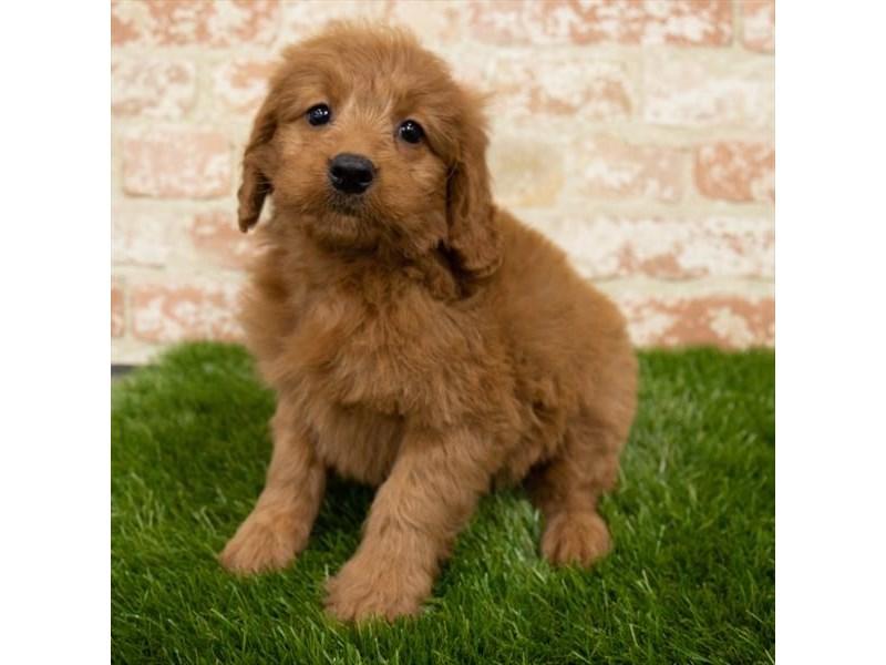 Goldendoodle Mini-DOG-Female-Red-3097974-Furrylicious