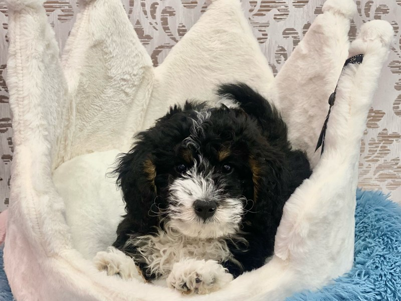 Mini Bernedoodle-Male-Black White / Tan-3097998-Furrylicious