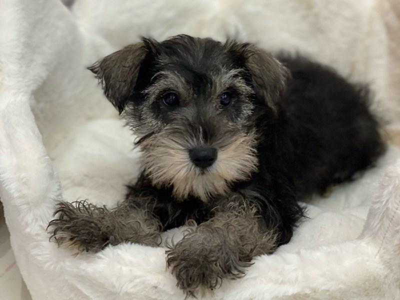 Mini Schnauzer-DOG-Female-Salt and Pepper-3099959-Furrylicious
