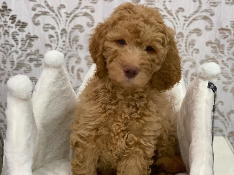 2nd Generation Goldendoodle-DOG-Male-Golden-3099992-Furrylicious