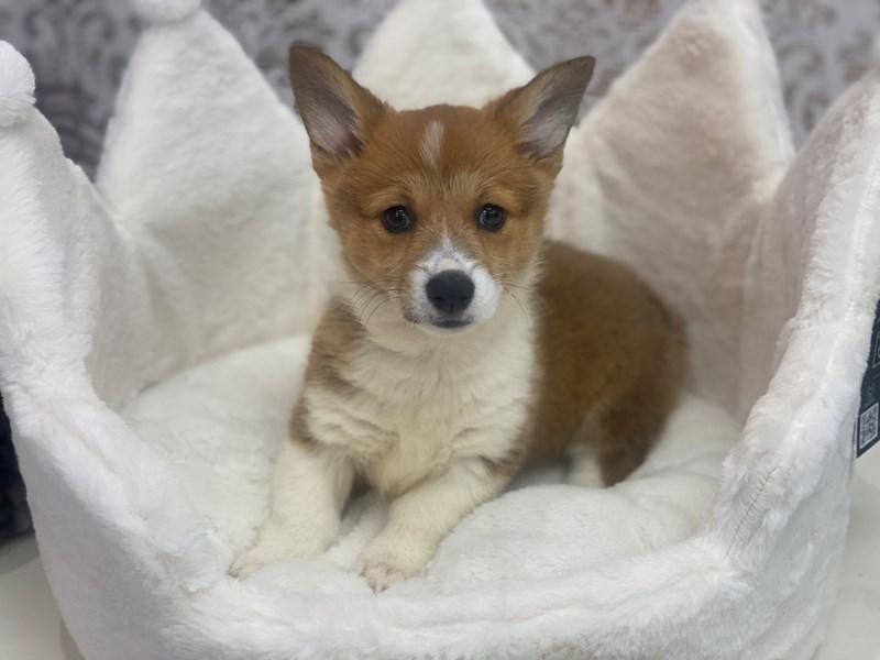 Pembroke Welsh Corgi-DOG-Female-Red-3097978-Furrylicious