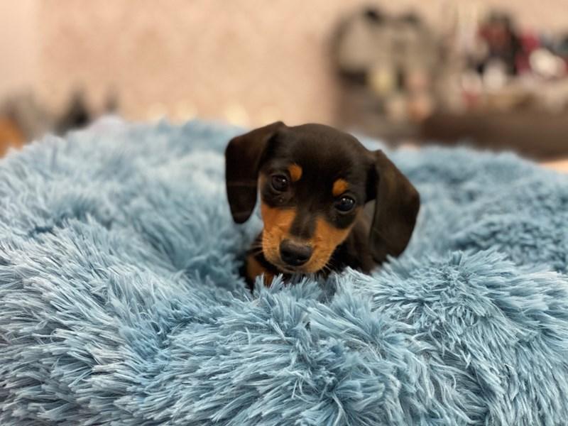 Dachshund-DOG-Male-Black / Tan-3099743-Furrylicious
