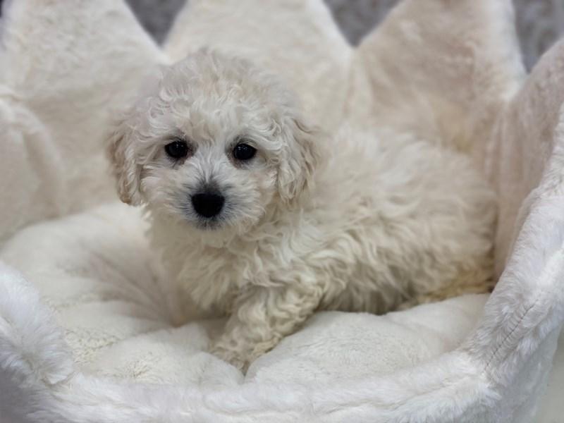 Bichon Poo-Male-Cream and White-3100393-Furrylicious
