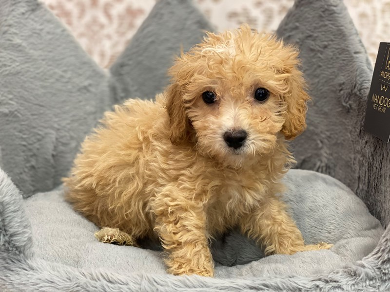 Bichonpoo-Male-Apricot and White-3112898-Furrylicious
