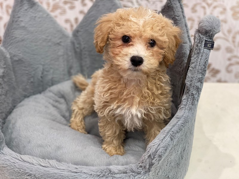 Bichonpoo-DOG-Male-Apricot and White-3112890-Furrylicious