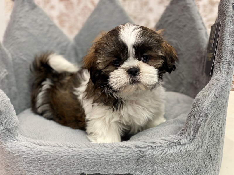 Shih Tzu-DOG-Male-Gold / White-3109374-Furrylicious