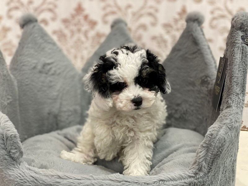 Poodle Mini-Male-Black White / Tan-3109373-Furrylicious